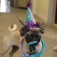 Ella: The Party Pug of San Diego
